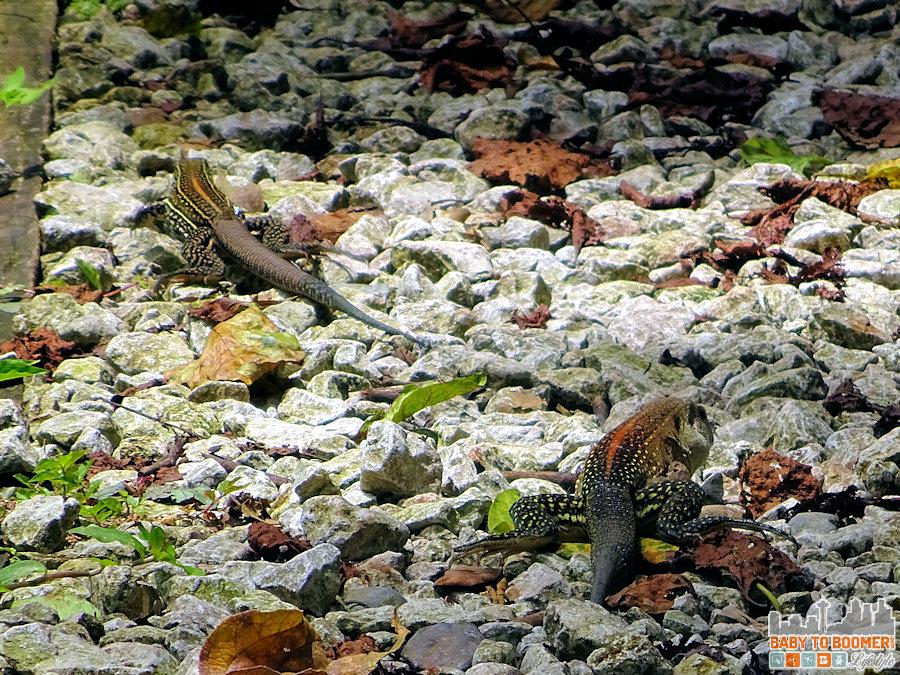 Panama - Panama City - Parque Natural Metropolitano - Lizard