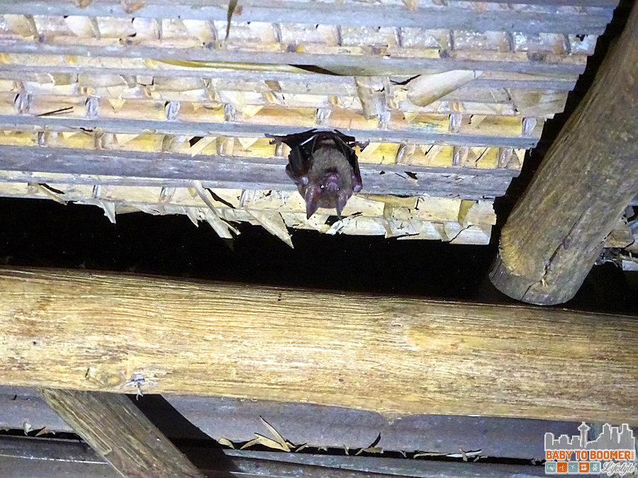 Panama-Isla-Canas-Hostal-Pachamama-Bat