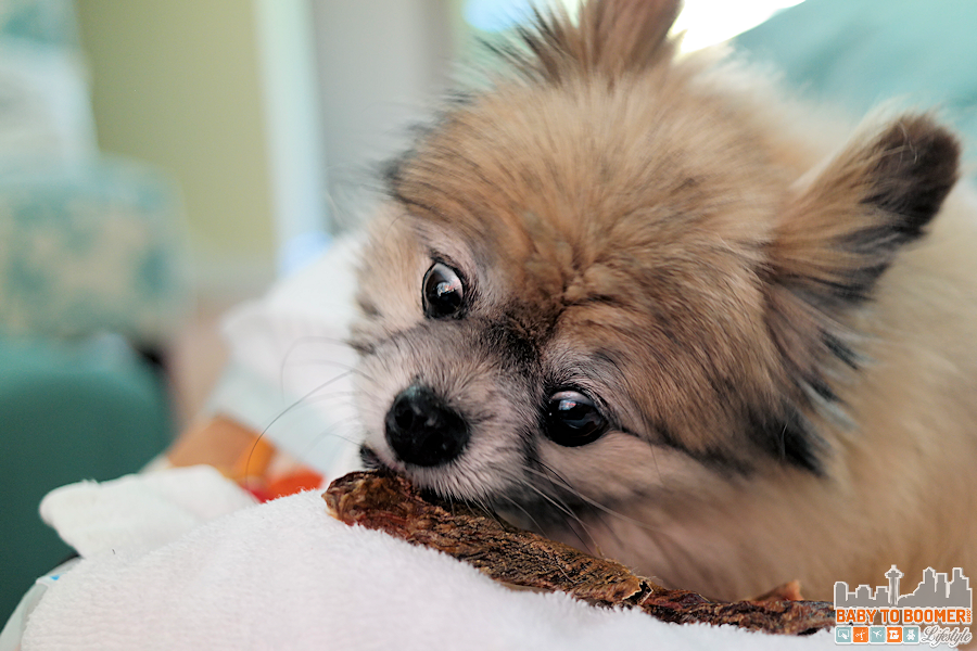 Pomerania with Kangaroo Jerky Treat =