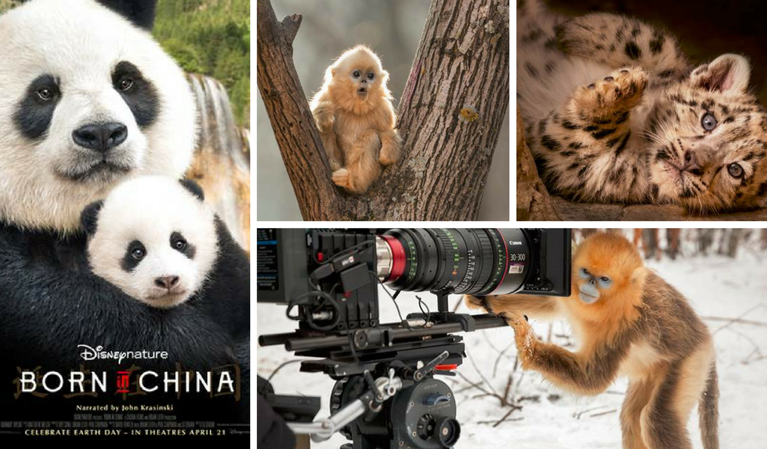 Disneynature BORN IN CHINA Opens Earth Day 2017 + Free Printables! #BornInChina